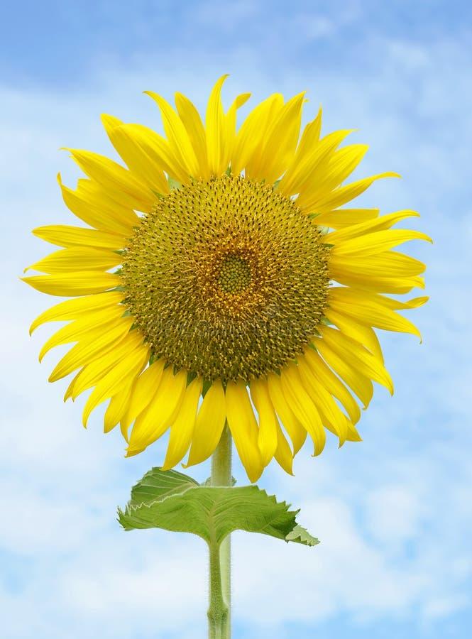 Härlig solros mot den blåa skyen royaltyfri fotografi