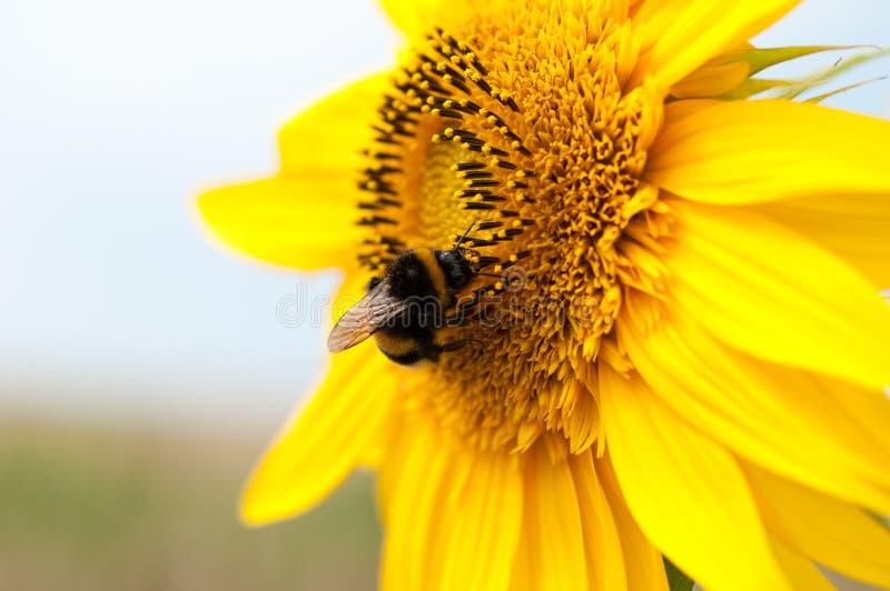 Härlig solros och bi som samlar pollen royaltyfri fotografi