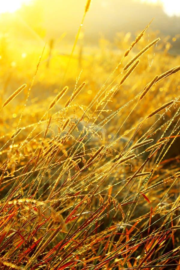 Härlig soluppgång över en sommar som blomstrar ängfältgräs med daggdroppar på bakgrunden av solen arkivfoton