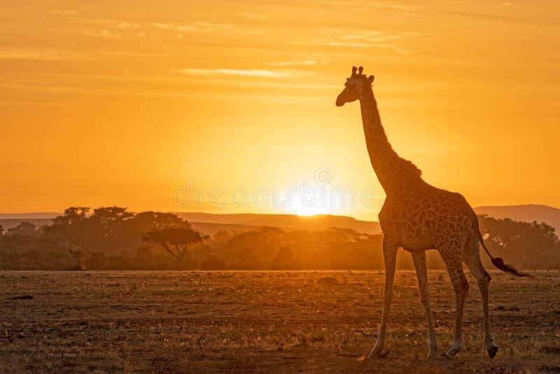 Härlig soluppgång i Masai Mara royaltyfria bilder