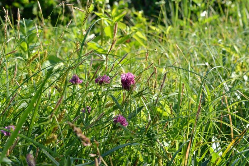 Härlig sommaräng med grönt gräs och rosa växt av släktet Trifoliumblommor arkivbild