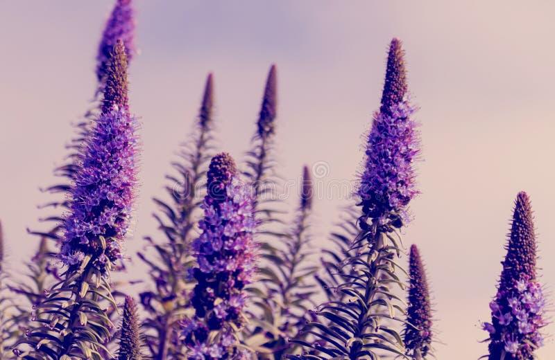 Härlig sommarbakgrund med löst änggräs och purpurfärgade blommor i strålarna av solnedgången arkivbild