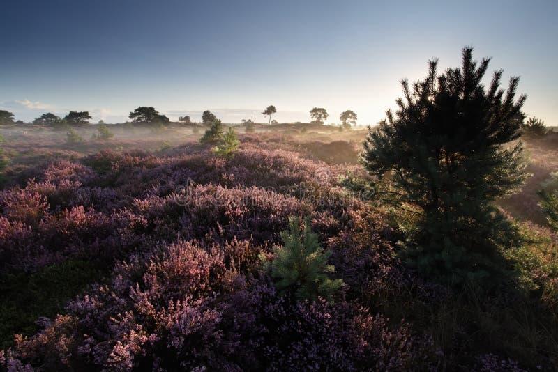 Härlig sommarmorgon på heathland royaltyfria foton