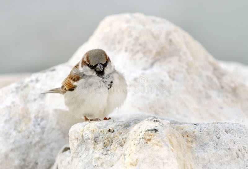 härlig sparrow royaltyfria bilder