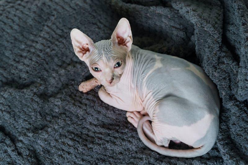 Härlig Sphynx katt arkivfoton