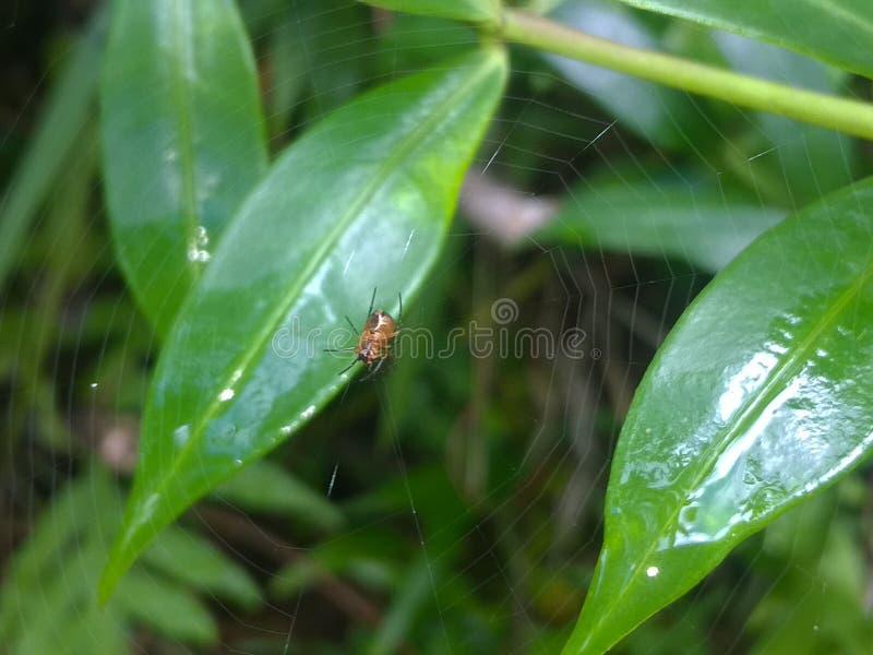Härlig spindel i Sri Lanka royaltyfri fotografi