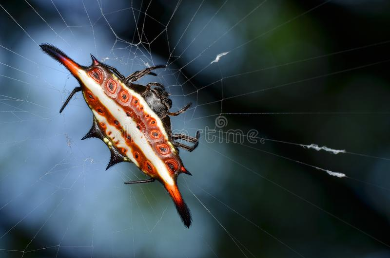 Härlig spindel, taggig orb-vävare arkivfoto