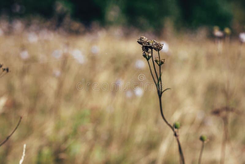 Härlig spindelrengöringsduk på torkade vildblommor i solig äng i berg Undersökande blommor och örter, lantligt enkelt liv in royaltyfria bilder