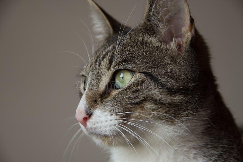 Härlig stående av den gråa strimmig kattkatten fotografering för bildbyråer