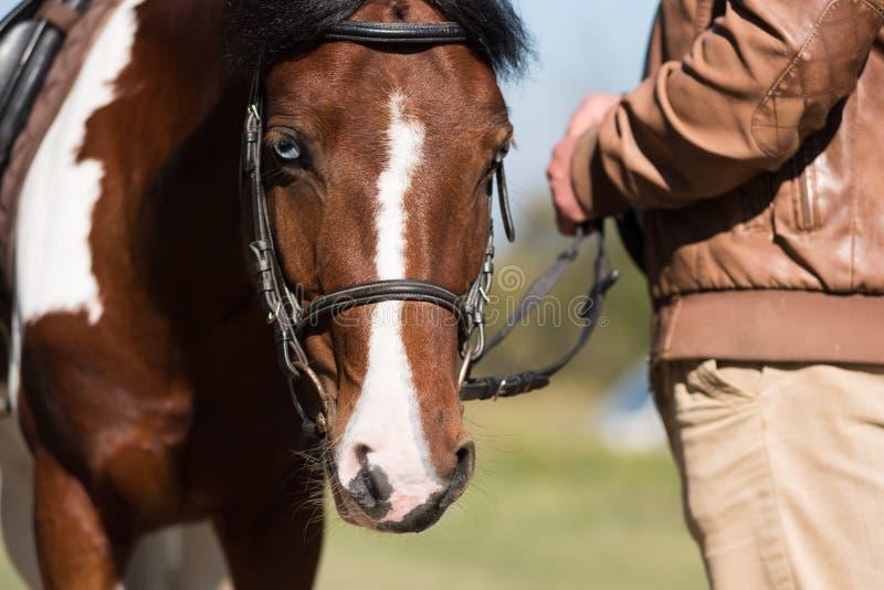 Härlig stående av en brun häst arkivbild