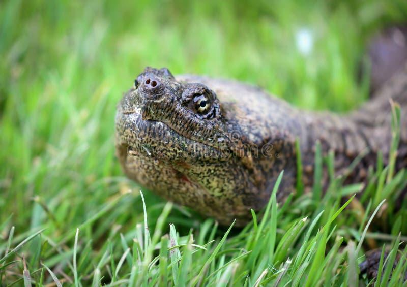 Härlig stående av en lång halssköldpadda i gräs under en sommardag i Michigan royaltyfri bild