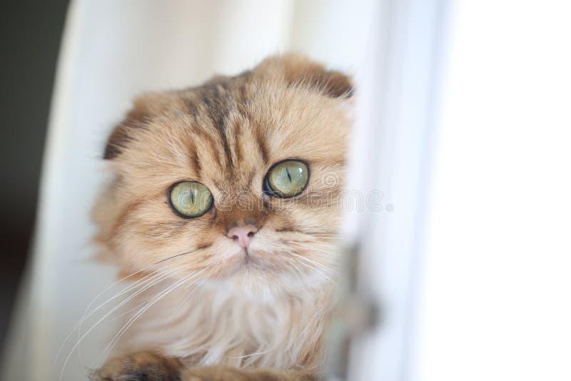 Härlig stående av en ljust rödbrun skotsk vikt katt med stora gröna ögon fotografering för bildbyråer