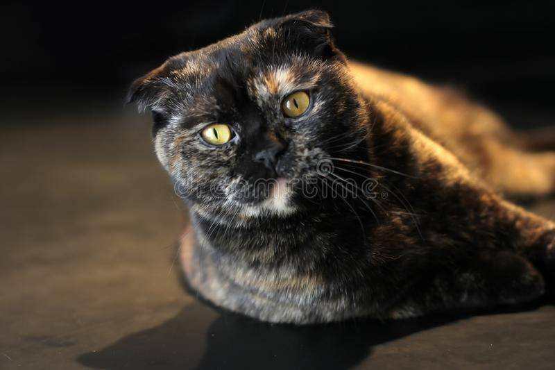 Härlig stående av en skotsk mörk eller sköldpadds- färg för veckkatt på en mörk bakgrund som tänder varmt ljus royaltyfri fotografi