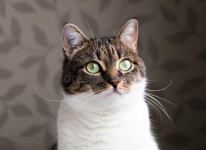 Härlig stående av en strimmig kattkatt som drömmer nära fönstret Den roliga kulöra katten med det randiga huvudet och vit förkrop royaltyfri fotografi