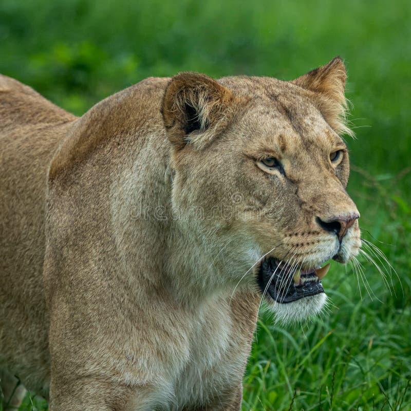 Härlig stående av lejoninnan som håller ögonen på ett annat lejon royaltyfri fotografi