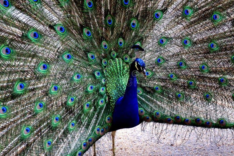 Härlig stående av påfågeln med fjädrar ut arkivfoto
