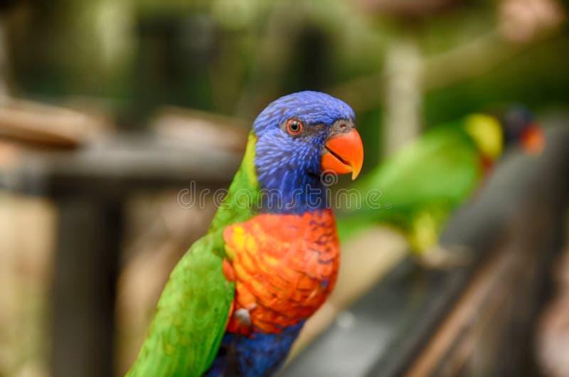 Härlig stående för selektiv fokus av färgrika regnbågeLorikeet papegojor fotografering för bildbyråer
