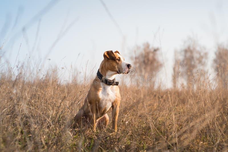 Härlig staffordshire terrierhund i gräs på solnedgången fotografering för bildbyråer