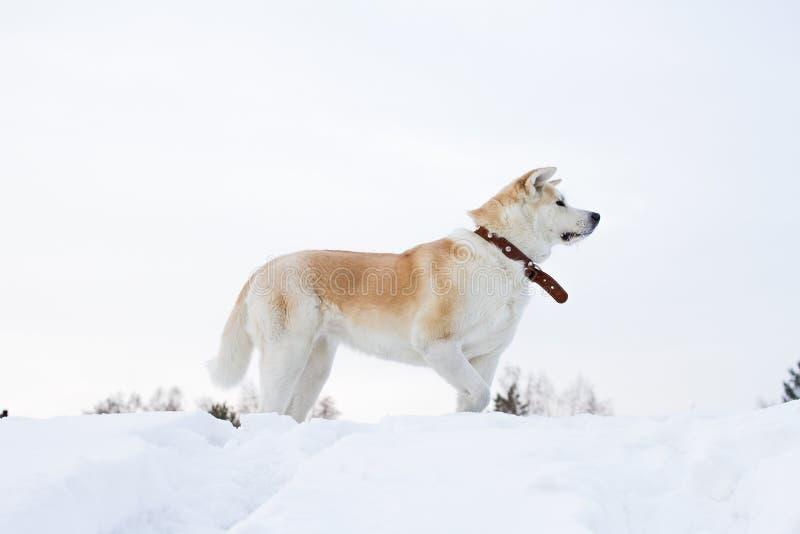 Härlig statylik hundjapan Akita Inu står i profil i den snöig skogen royaltyfri fotografi