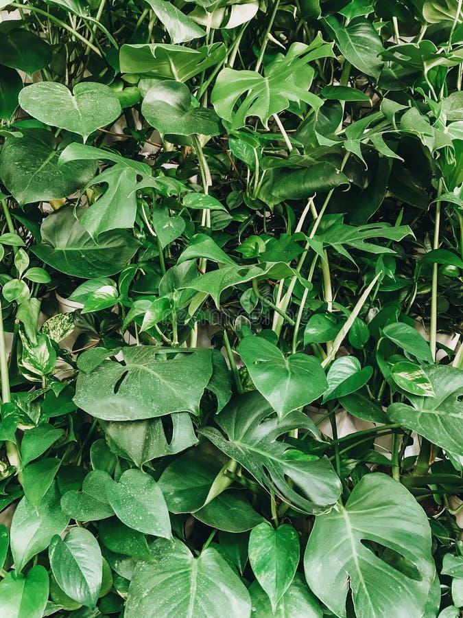 Härlig stilfull växtvägg Grön monstera- och palmbladvägg, modern dekor i inredesign naturlig wallpaper hälsningar arkivfoto