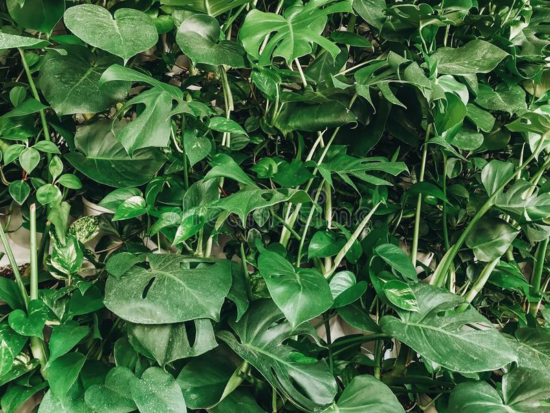 Härlig stilfull växtvägg Grön monstera- och palmbladvägg, modern dekor i inredesign naturlig wallpaper hälsningar arkivbilder