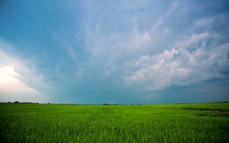 Härlig stor grön fältvintercerea mot en blått, molnig himmel arkivfoto