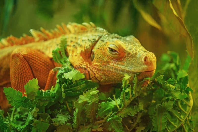 Härlig Stor Leguan Royaltyfri Bild