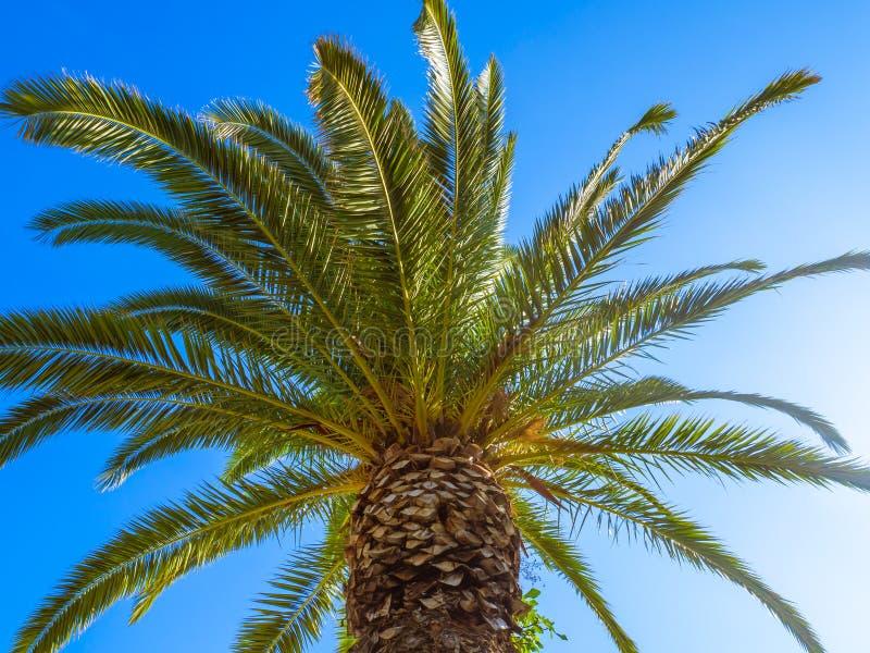 Härlig stor palmträd med klar blå himmel i bakgrunden royaltyfria bilder