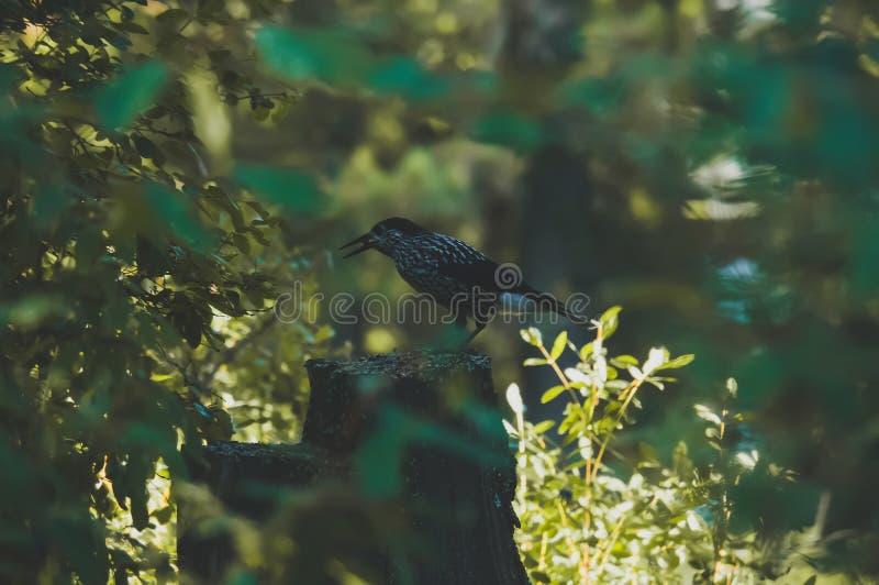 Härlig stor prickig hackspettfågel viktiga Dendrocopos royaltyfri bild