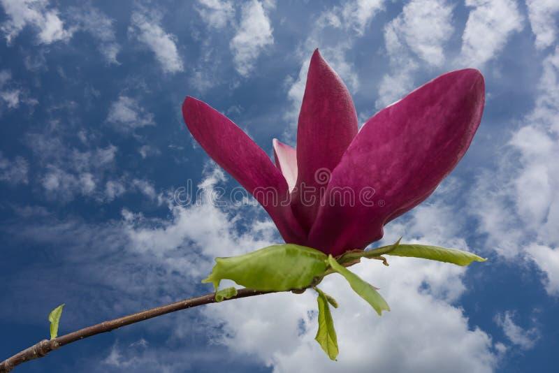 Härlig stor rosa magnoliablomma mot blå himmel arkivbilder