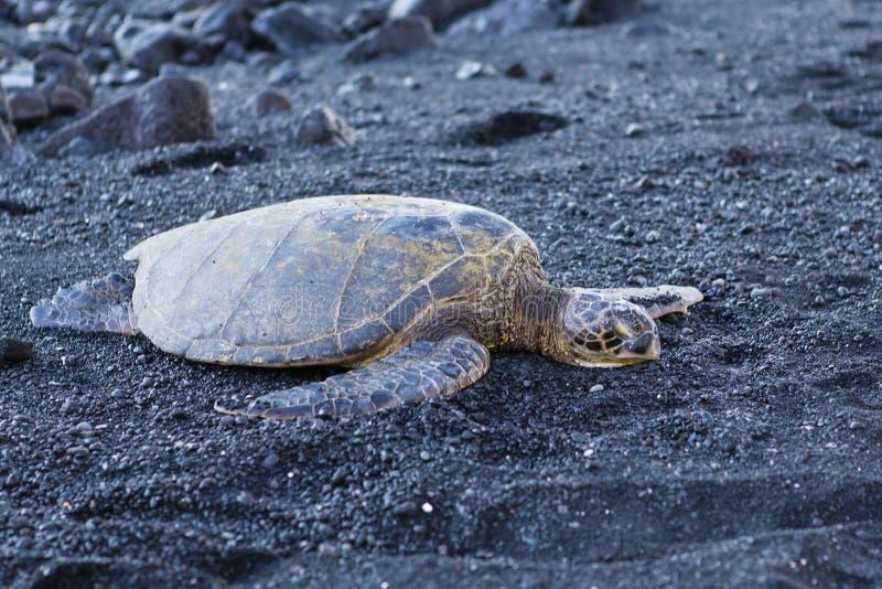 Härlig stor sköldpadda som ligger på svart sand arkivfoto