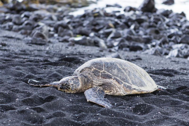 Härlig stor sköldpadda som ligger på svart sand royaltyfri foto