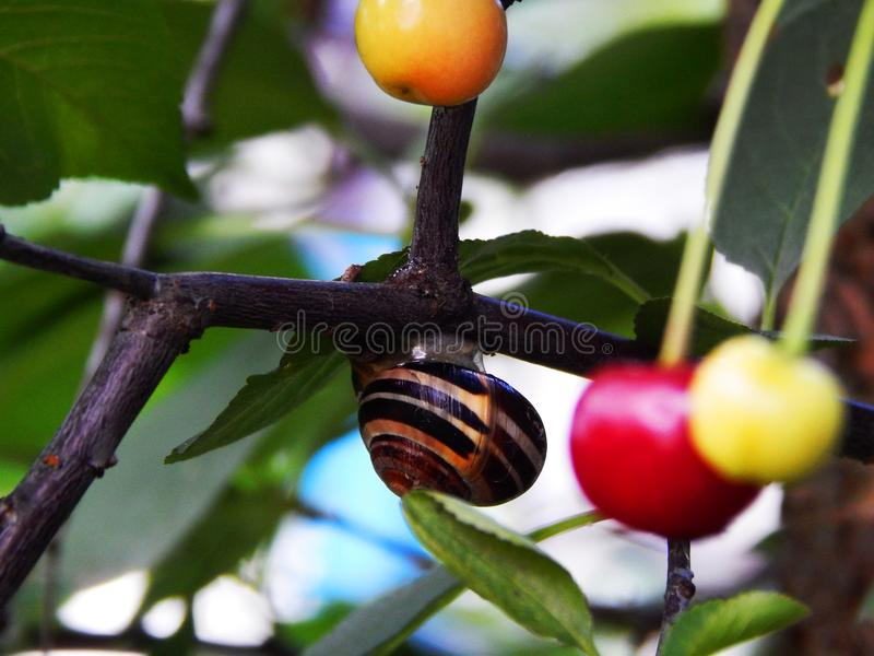 Härlig stor snigel på ett körsbärsrött träd royaltyfri bild