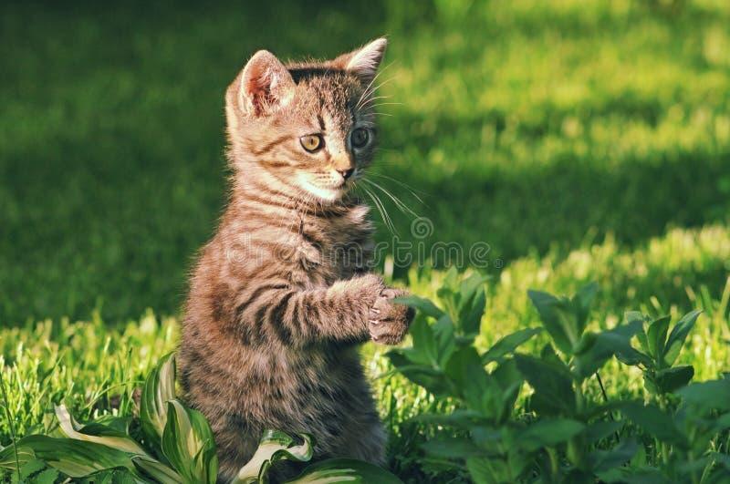 Härlig strimmig kattkattunge som ser något som är rolig royaltyfri bild
