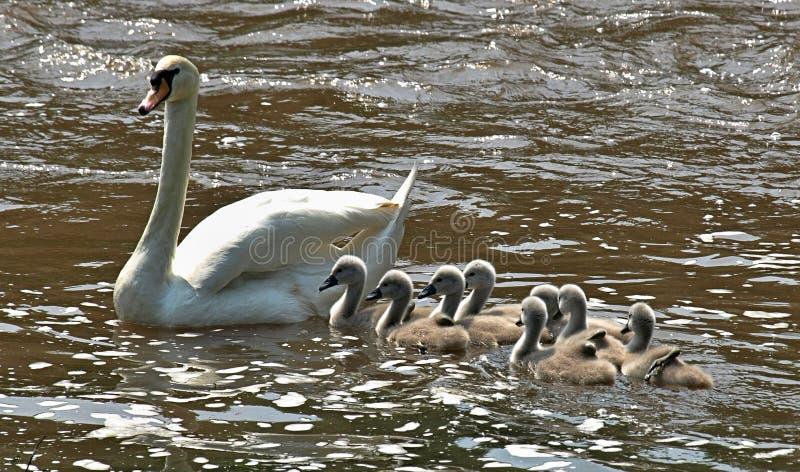Härlig svan med massor av att simma för fågelungar royaltyfri foto