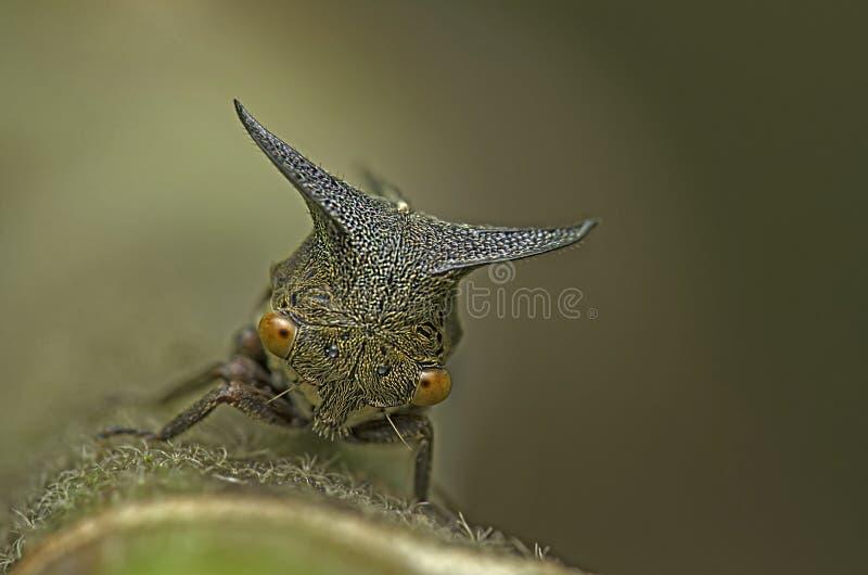 Härlig svart cikada i Malaysia arkivbilder