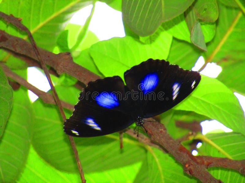 Härlig svart färgfjäril eller hypolimnasbolina med den blåa fläcken på grön bakgrund arkivfoton