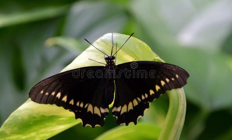 Härlig svart fjäril med den gula modellen på vingar, närbild royaltyfria foton