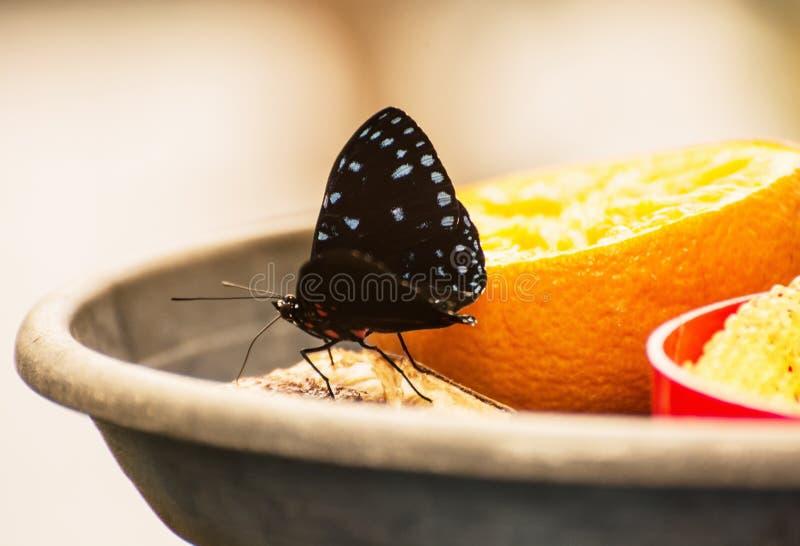 Härlig svart fjäril som matar den orange frukten, slut upp sce arkivfoto