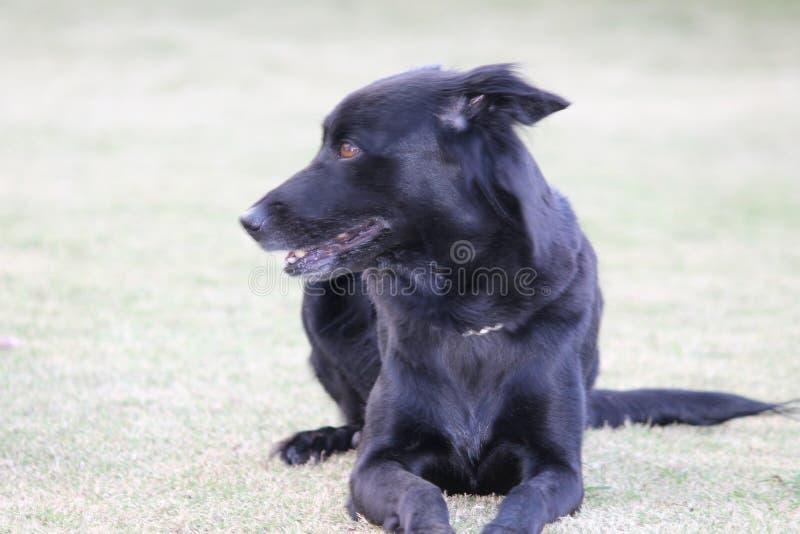 härlig svart hund royaltyfria bilder