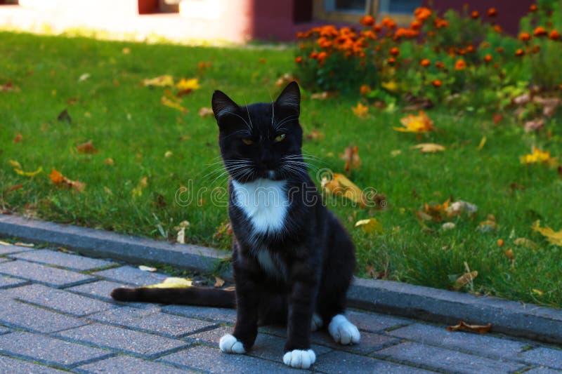 Härlig svart katt med det vita bröstet i förgrunden arkivfoton
