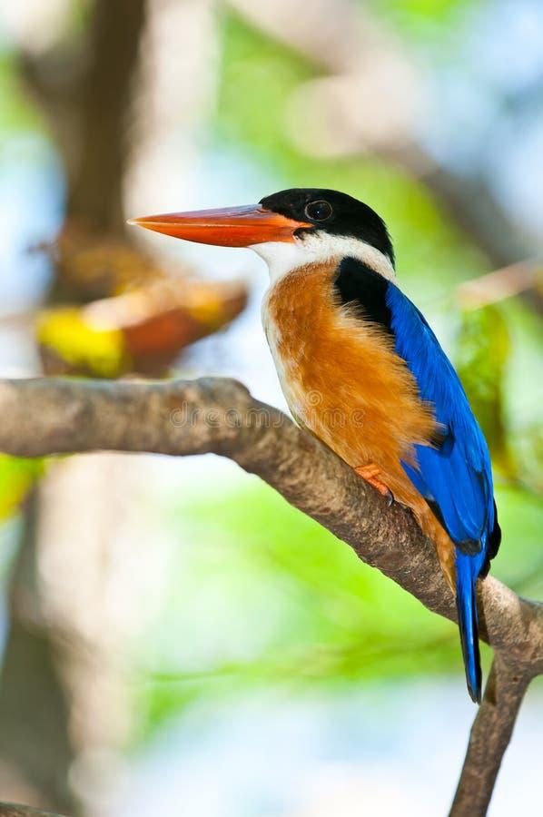 Härlig Svart-korkad kungsfiskarefågel royaltyfri bild