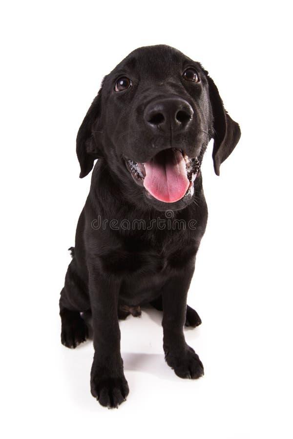 Härlig svart labrador royaltyfria bilder