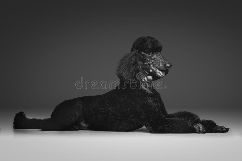 Härlig svart pudel på grå bakgrund fotografering för bildbyråer