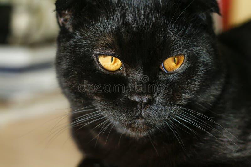 Härlig svart skotsk veckkatt som ser till sidan tanke royaltyfri bild
