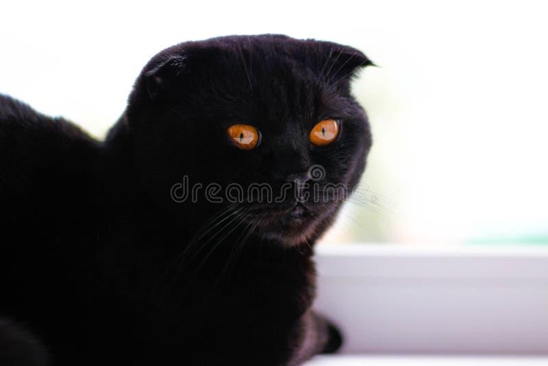 Härlig svart skotsk veckkatt som ser till sidan tanke arkivfoton