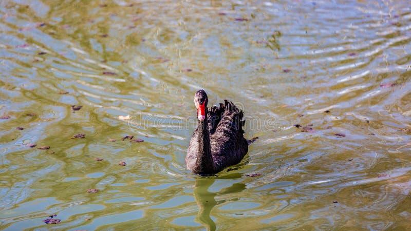 Härlig svart svan som i stillhet simmar i ett damm royaltyfria foton