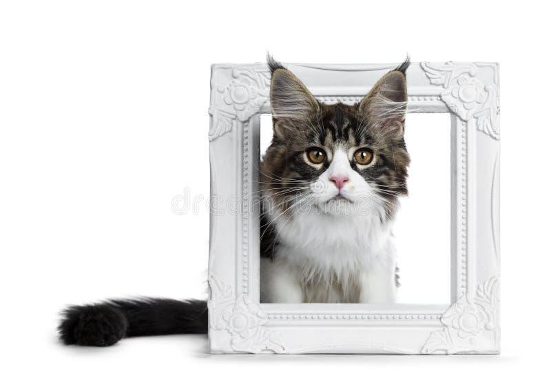 Härlig svartbruntstrimmig katt med den vita Maine Coon kattkattungen som sitter med huvudet till och med en vit bildram som ser r arkivbilder