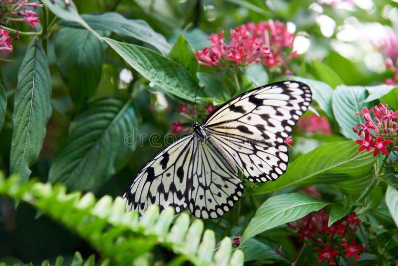 Härlig svartvit fjäril som sätta sig på ett blad fotografering för bildbyråer