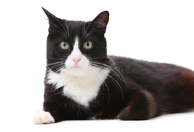 Härlig svartvit katt över vit royaltyfri fotografi